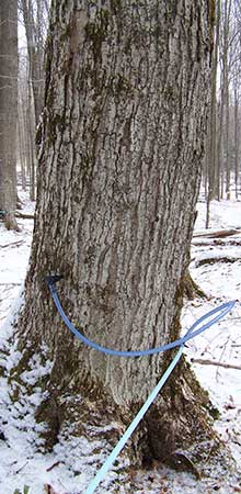 Sugar Maple tree tap with tubing